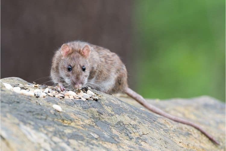 How to get rid of rat urine smell